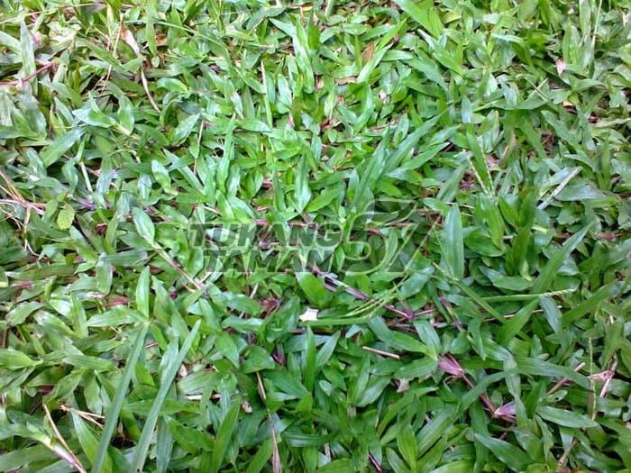 rumput cikande